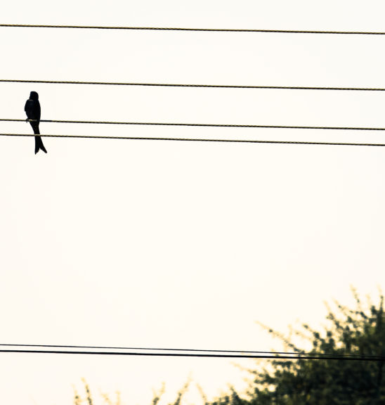 Bird on Electric wire