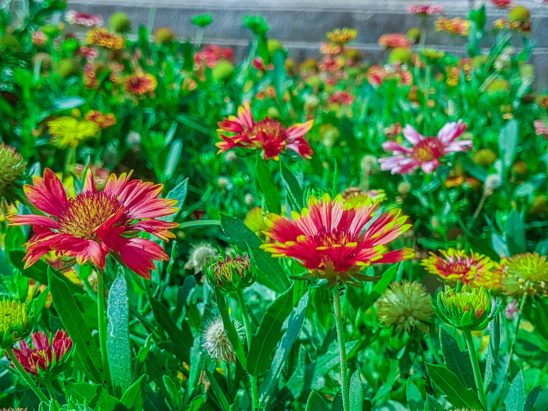 Pink Gaillardia Flower in Park