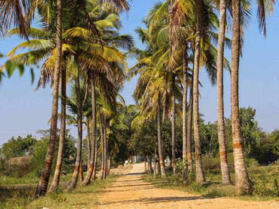 coconut trees road side