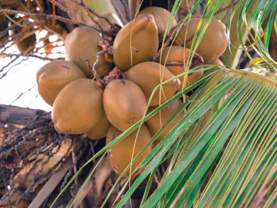 Tender coconut on trees