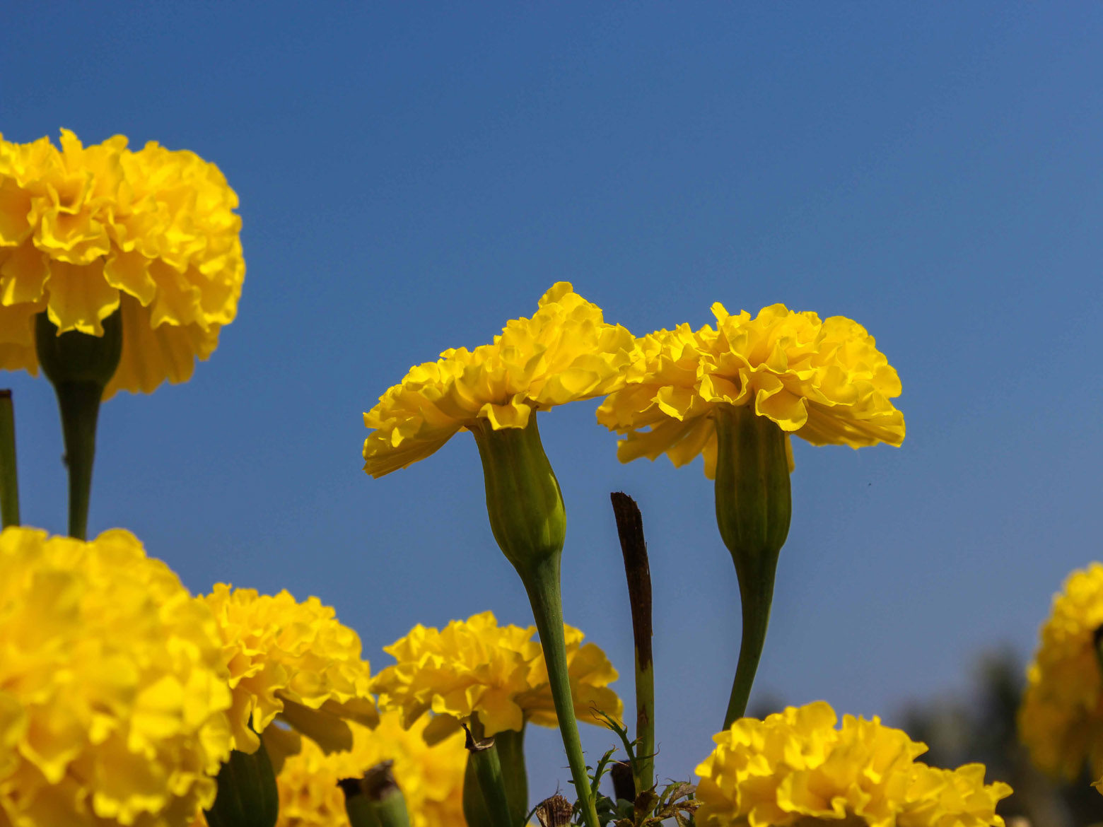 Tagete Or Yellow Marigold Flower Free Indian Stock Pictures