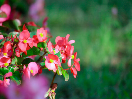 Red Fibrous Begonia Blooming Flowers