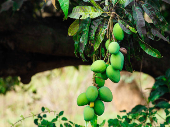 mangoes in tree