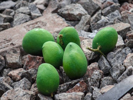 Mangoes on railway track