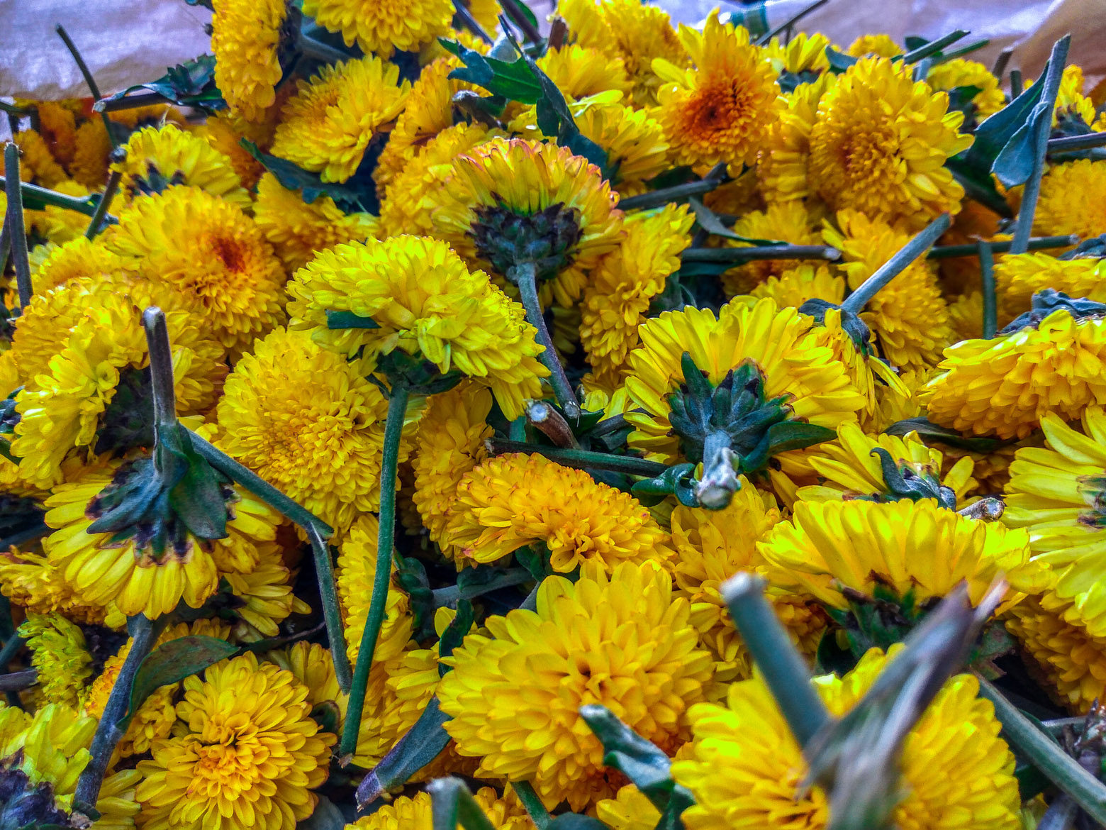 Yellow Chrysanthemum Flowers Free Indian Stock Pictures Download