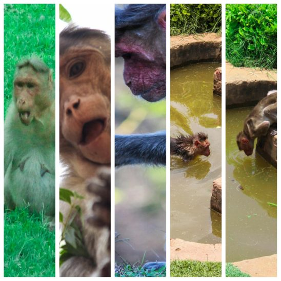Monkey opening its mouth collages