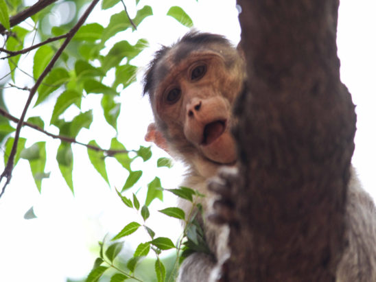 monkey looking down with open mouth