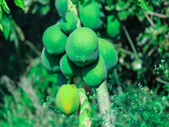 Papaya Plant with Green papayas