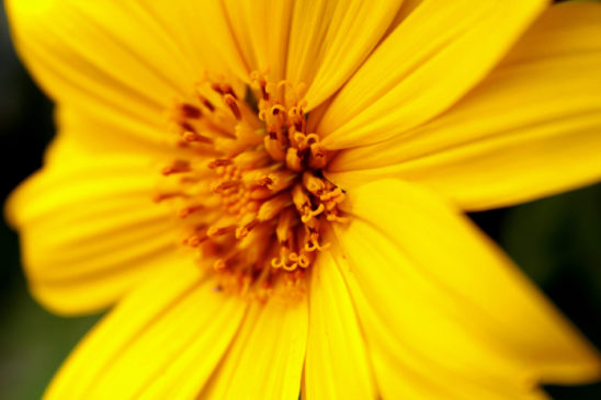 Heliopsis helianthoides or oxeye Daisy Flower