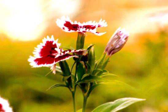 Red Dianthus Flower Bunch with Bud