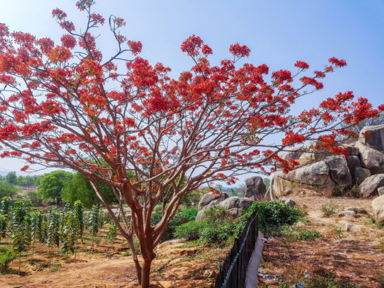 Flamboyant Tree with Flowers