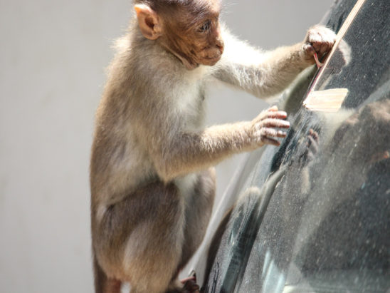 Monkey seeing car glass