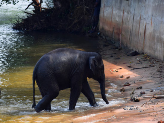 baby elephnat walking out from the river