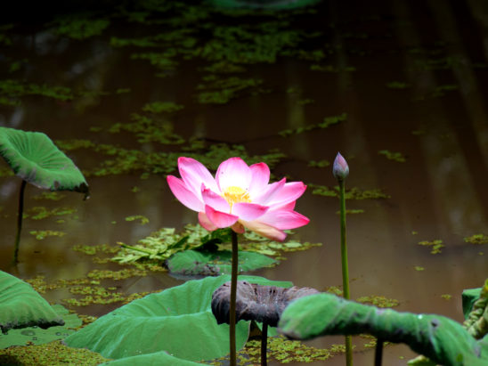 lotus flower and its bud