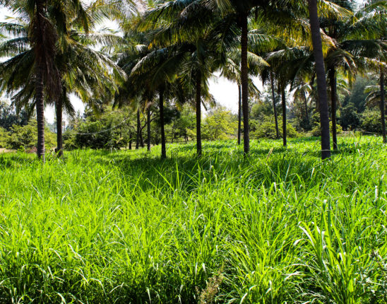 Coconut trees and grass