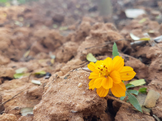 Yellow cosmos Flower in agricultural Land