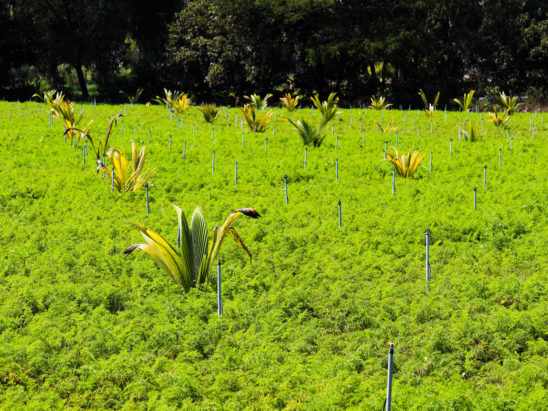 coconut trees growm in middle in carrot farm