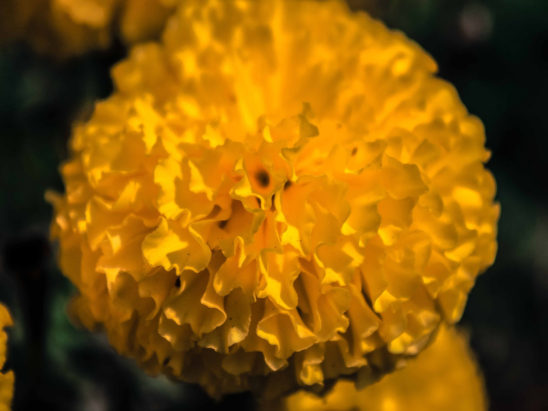 Yellow marigold flower petals
