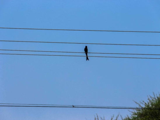 crow on electric wire