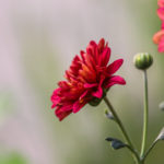 Red Red Dahlia Flowers and its Bud