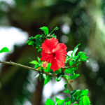 Red Hibiscus in Plant