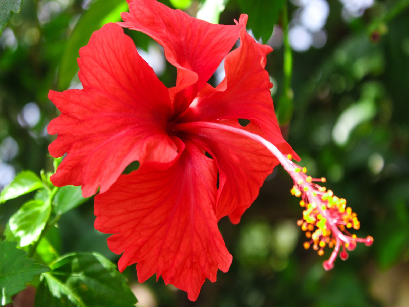 Red hibiscus flower free indian stock pictures download for free ynot pics - Hibiscus images download ...