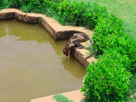 monkey jumping into pool
