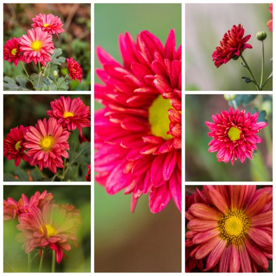 red dalhia flower collages