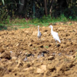 Cattle Egret in Agricultural Land