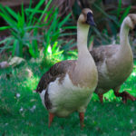 two ducks playing in grass