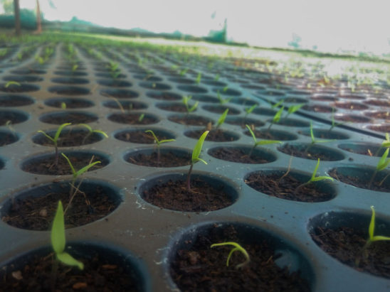 Plants sprouting in Nursery