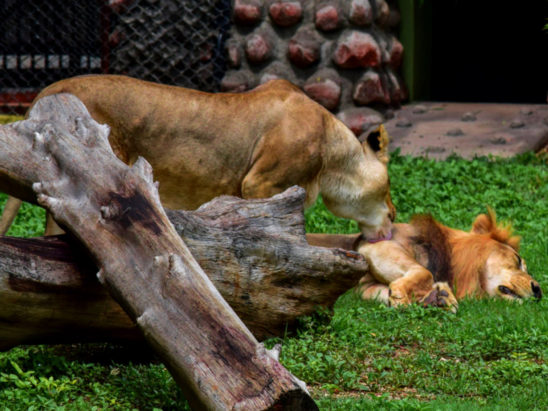 Lion Lioness in Zoo
