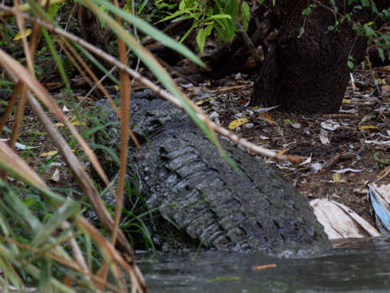 crocodile coming out of pond