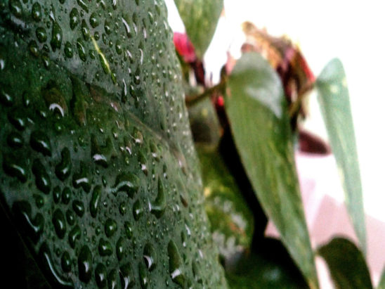 dew drops on leaves